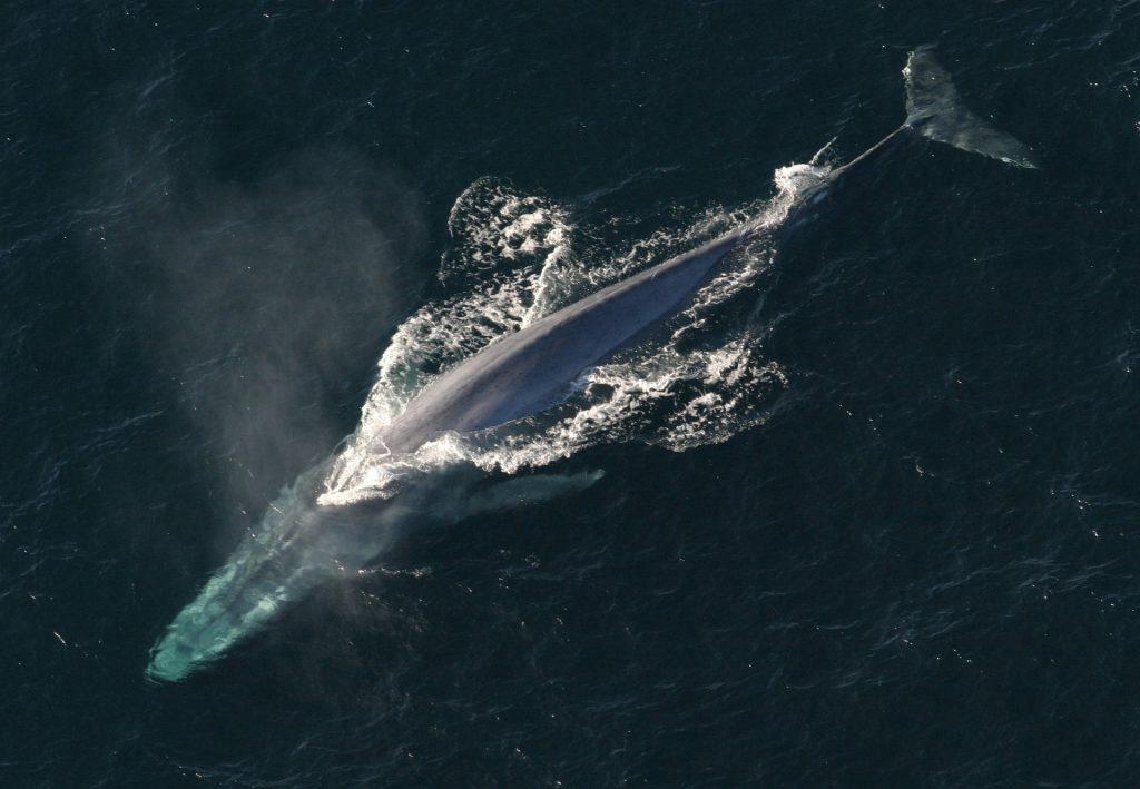 blue-whale-1198719_1920